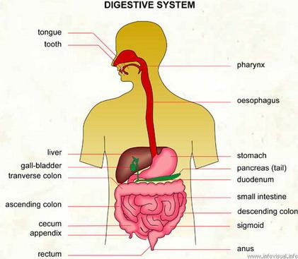 Digital english human body digestive system ccuart Choice Image